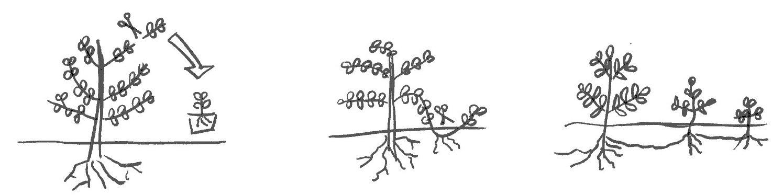 reproduction-begetaux-2